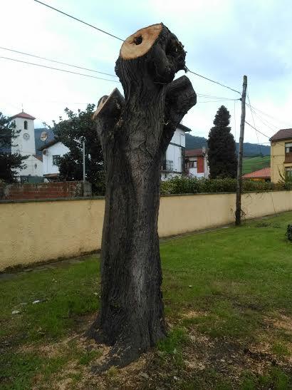 Uno de los árboles excesivamente podados con riesgo de podredumbre interna