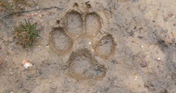 Posición de IU ante la propuesta del PP relativa al lobo