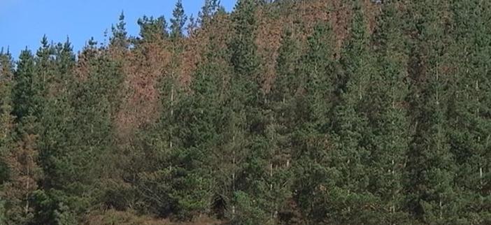 IU pregunta sobre posible afección de la «banda marrón» a los pinos del concejo